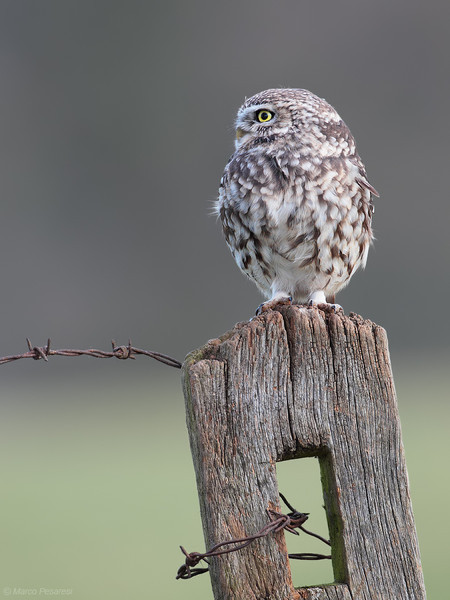 3. Little Owl