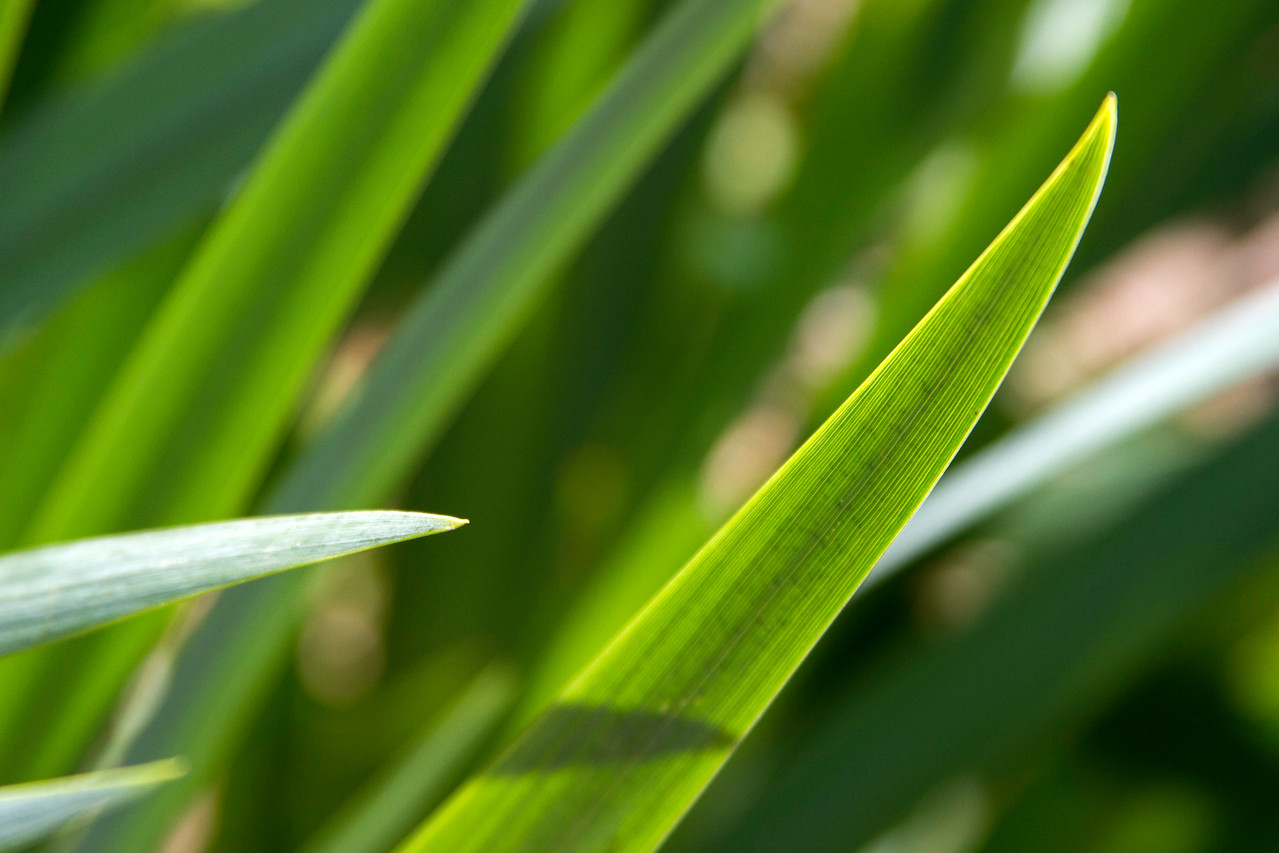 Iris leaves in the sunlight at Armand Bayou Nature Center