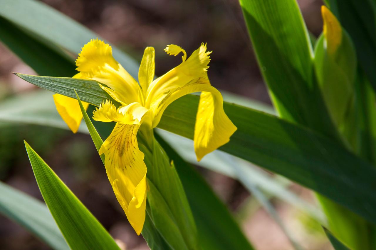 Iris bloom at Armand Bayou Nature Center