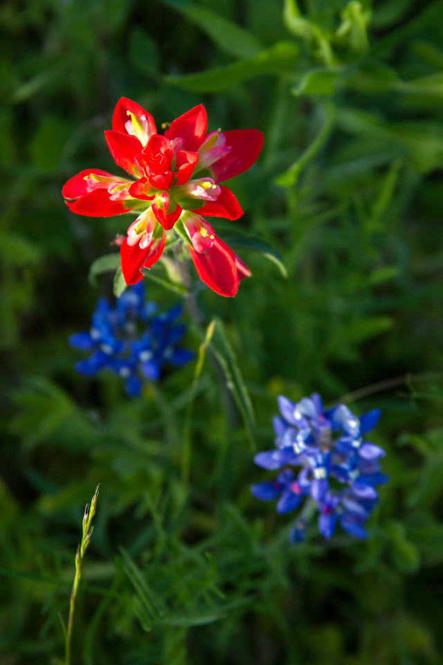 Indian paintbrush and bluebonnets near Chappell Hill, Texas