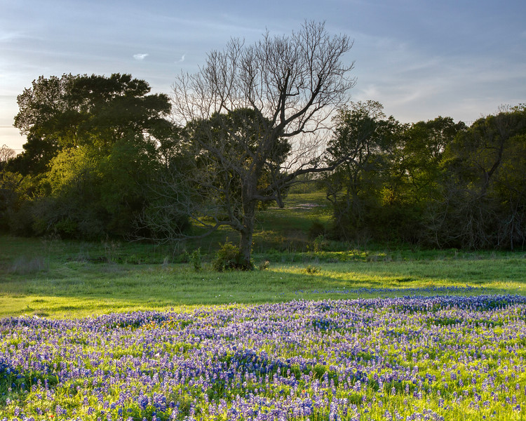 Bluebonnets near Chappell Hill, Texas