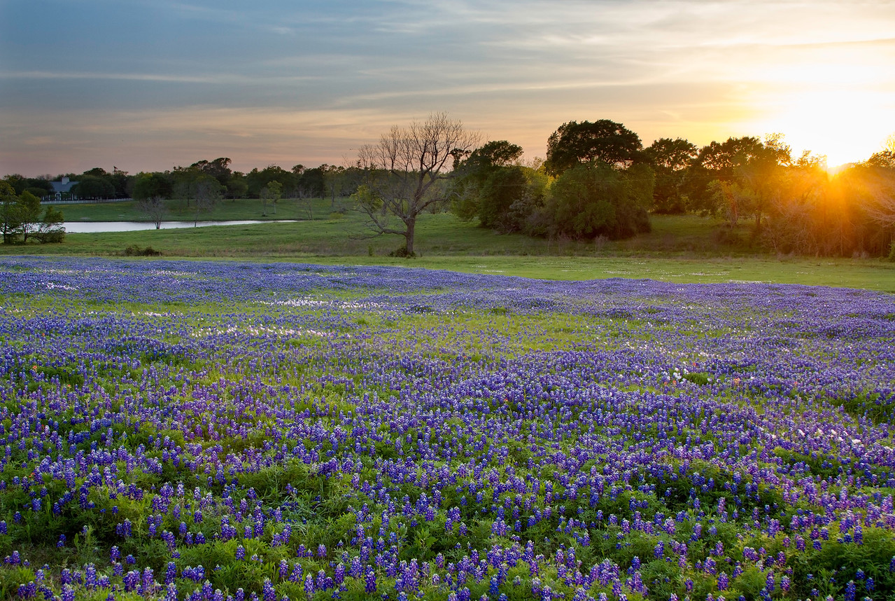 Bluebonnets at sunset near Chappell Hill, Texas
