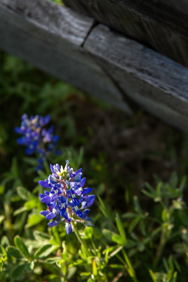 Bluebonnets by an old wooden fence near Chappell Hill, Texas