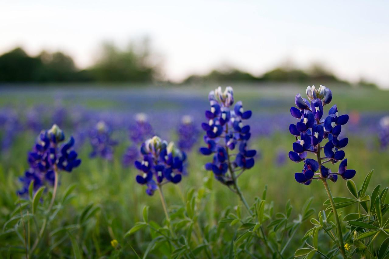 Bluebonnets near Chappell Hill, Texas