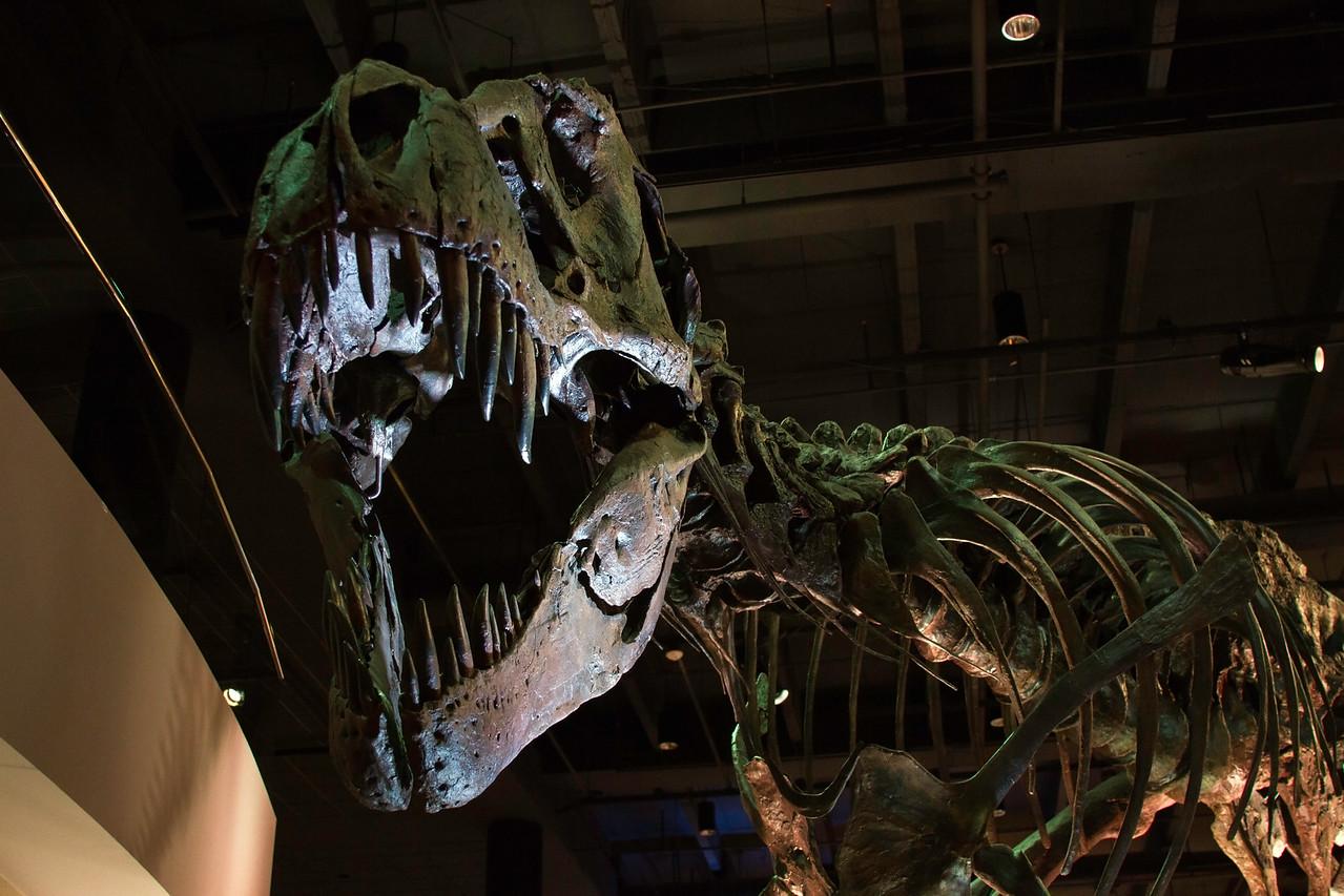 Tyrannosaurus Rex skeleton at the Houston Museum of Natural Science