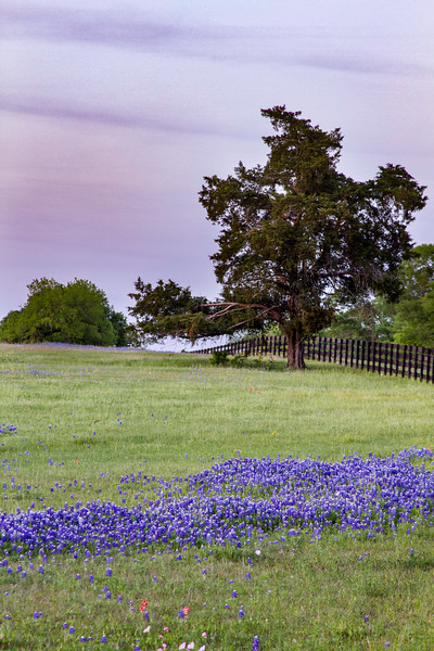 Bluebonnets and a large tree at sunset near Chappell Hill, Texas