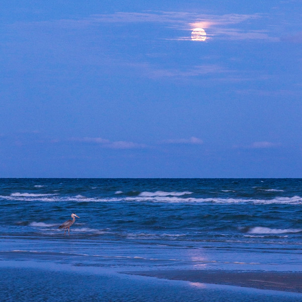 Great blue heron checking out the rising full Moon at Galveston Island State Park