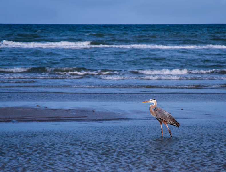 Great blue heron walking along the beach at sunset at Galveston Island State Park