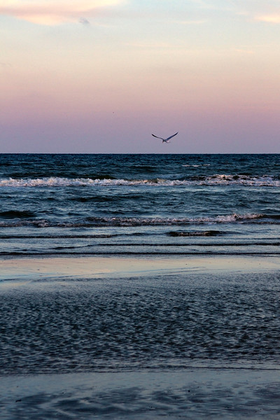 Seagull hunting at sunset in Galveston Island State Park