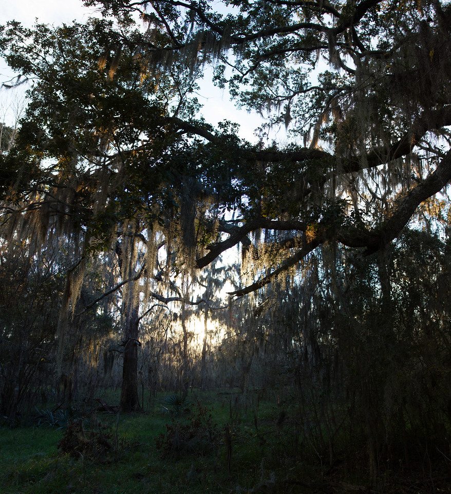 Sunset at Brazos Bend State Park causes the Spanish moss to glow. 8 photo panorama