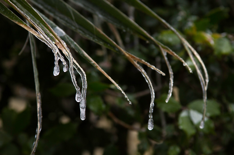 Icicles on palm tree leaves during Houston's January 2018 ice storm