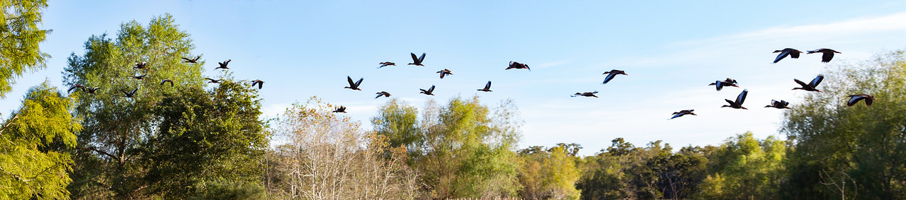 Ducks flying over Brazos Bend State Park. 3 photo panorama