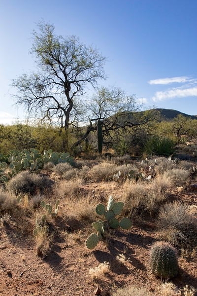 Desert flora near Vail, AZ