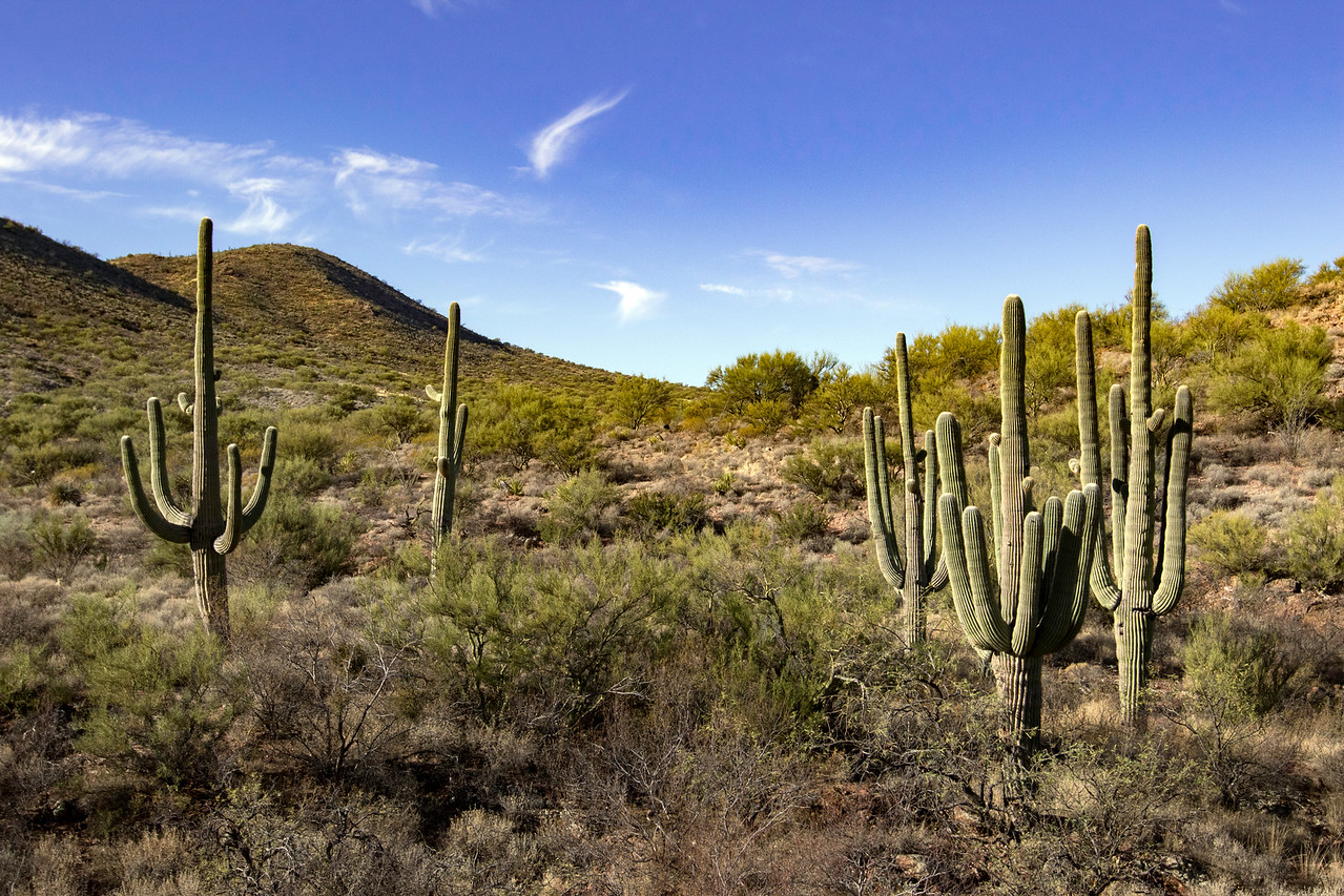 Saguaro cacti outside of Vail, AZ