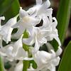 Week 8. Hyacinth