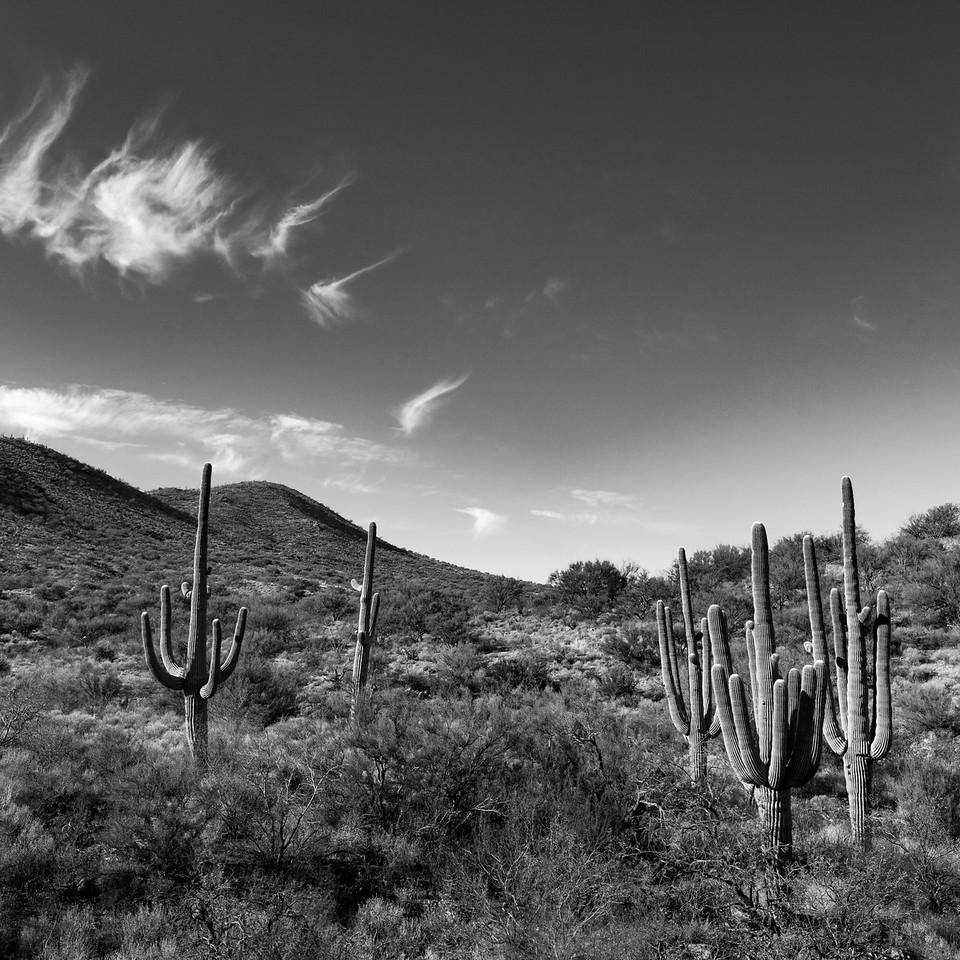 Saguaro cacti outside of Vail, AZ. 6 photo panorama