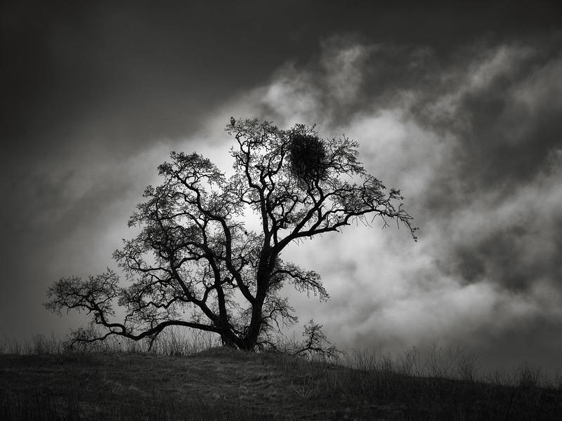 Tree with Raptor and Mistletoe