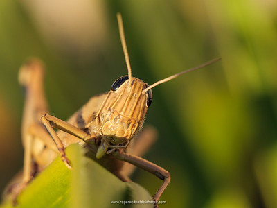 Notice how shallow the depth of field is in this photograph of a locust. The colour balance is also a little off.