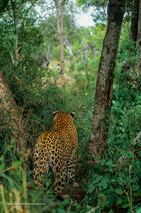Leopard. Panthera pardus. Watching buffalo herd. MalaMala Game Reserve. Mpumalanga. South Africa.