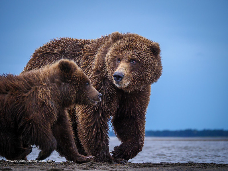 Coastal brown bear, also known as Grizzly Bear (Ursus Arctos) female and cub. South Central Alaska. United States of America (USA).
