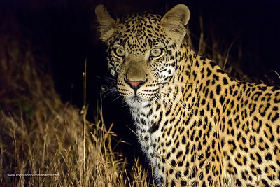 Leopard  (Panthera pardus). Kruger National Park. Mpumalanga. South Africa.