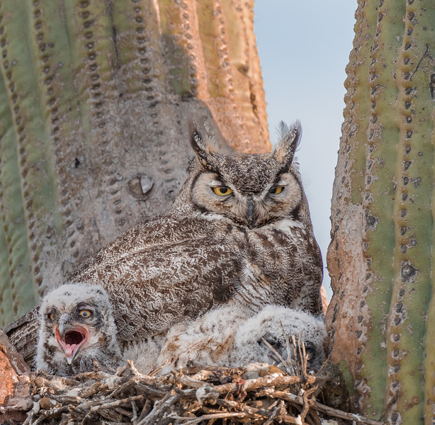 Santa Catalina Mountain Foothills, Sonoran Desert, Great Horned owl nest in evening light. Arizona