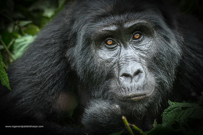Mountain gorilla (Gorilla beringei beringei). Bwindi Impenetrable Forest. Uganda