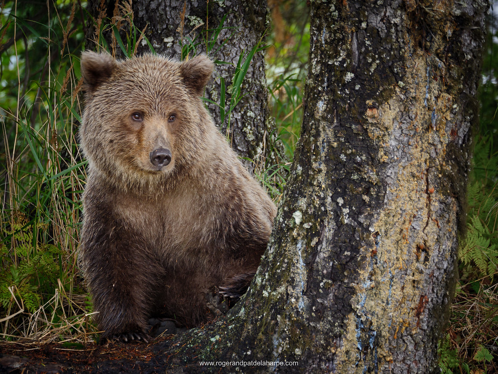 Coastal brown bear, also known as Grizzly Bear (Ursus Arctos) cub. South Central Alaska. United States of America (USA).