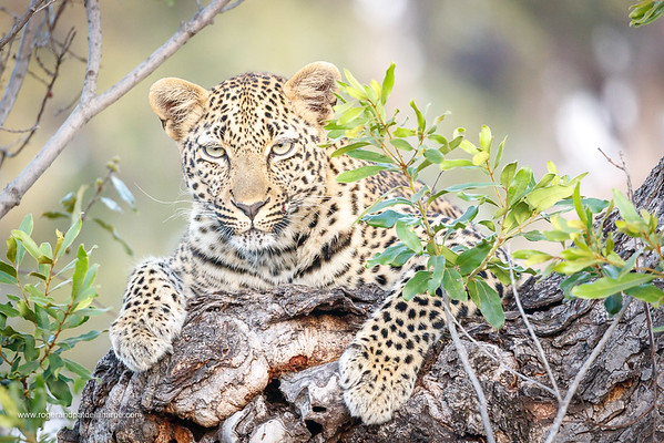 Leopard (Panthera pardus) female. Kruger National Park. Mpumalanga. South Africa.