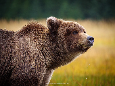 A Brown or Grizzly Bear (Ursus arctos). Alaska. United States of America.