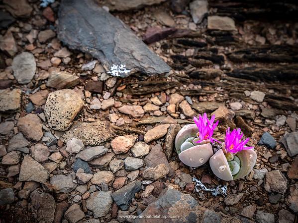 Mimicry plant or volstruistone( Gibbaeum dispar). Van Wyksdorp. Western Cape. South Africa