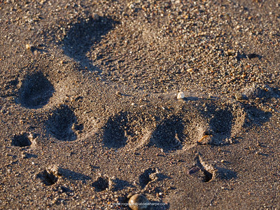 A Brown or Grizzly Bear (Ursus arctos) footprint. Alaska. United States of America