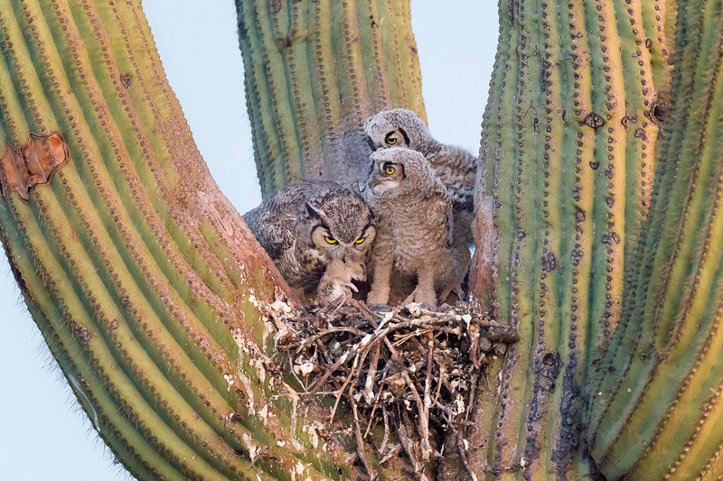 Santa Catalina Mountain Foothills, Sonoran Desert, Great Horned owl nest in evening light. Arizona Not: pat rats are part of their diet, which they either swallow whole, or use their sharp talons and beak to slice into pieces.