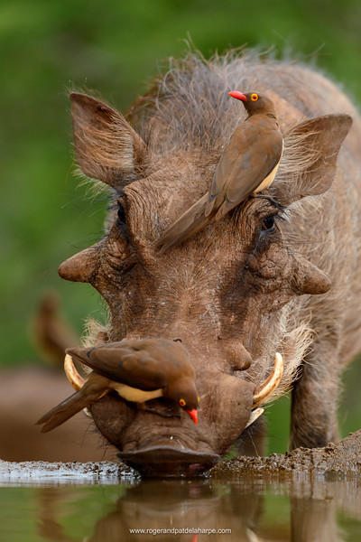 Red-billed oxpecker (Buphagus erythrorhynchus) and common warthog (Phacochoerus africanus) drinking. Zimanga Private Game Reserve, Mkuze Estate.  KwaZulu Natal. South Africa