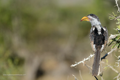 Southern yellow-billed hornbill (Tockus leucomelas). Kruger National Park. Mpumalanga. South Africa.