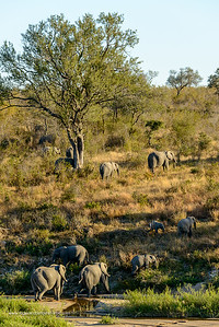African bush elephant (Loxodonta africana) in Muhlambamadvube River bed. Kruger National Park. Mpumalanga. South Africa.