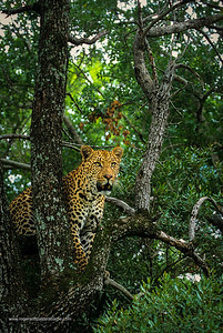 Leopard. Panthera pardus. In Tree. MalaMala Game Reserve. Mpumalanga. South Africa.