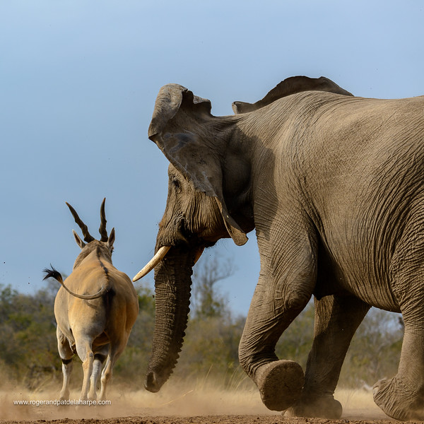 Common eland , also known as the southern eland or eland antelope (Taurotragus oryx) being chased away from a waterhole by and African bush elephant (Loxodonta africana). Mashatu Game Reserve. Northern Tuli Game Reserve.  Botswana
