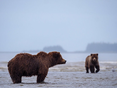 A Brown or Grizzly Bear (Ursus arctos). Alaska. United States of America