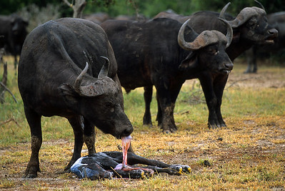 Buffalo. Syncerus Caffer. Cow cleaning newly born calf. MalaMala Game Reserve. Mpumalanga. South Africa.
