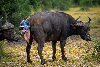 Buffalo. Syncerus caffer. Cow giving birth. MalaMala Game Reserve. Mpumalanga. South Africa.