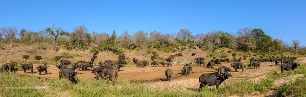 African buffalo, also know as Cape Buffalo (Syncerus caffer) in Mbyamiti River. Southern Kruger National Park. Mpumalanga. South Africa.