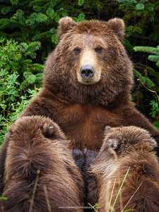 Coastal brown bear, also known as Grizzly Bear (Ursus Arctos) nursing cubs. South Central Alaska. United States of America (USA).