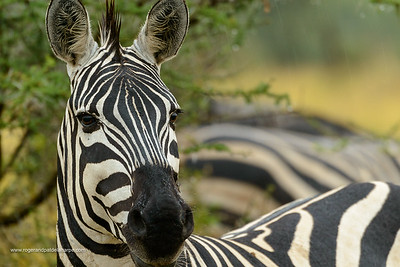 Plains zebra (Equus quagga, formerly Equus burchellii), Serengeti National Park. Tanzania