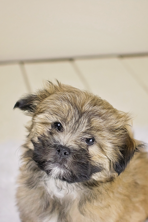 Roxy, The Shih Tzu Pomeranian Mix