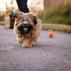 Roxy, the Pomeranian Shih Tzu mix
