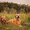 T-Bone the Golden Retriever and Gus the Terrier Mix