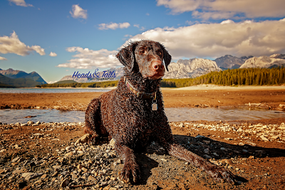 Tess, the Curly Coated Retriever