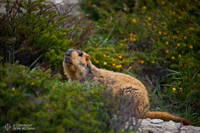 Himalayan marmot, in between Yurutse and Ganda La, Hemis National Park, Stok Mountain Range, Ladakh, Jammu and Kashmir, India