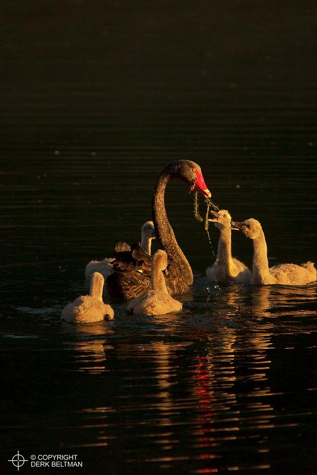 Black swan feedling its chicks, Lake Waikaremoana, Te Uwerera National Park, North Island, New Zealand